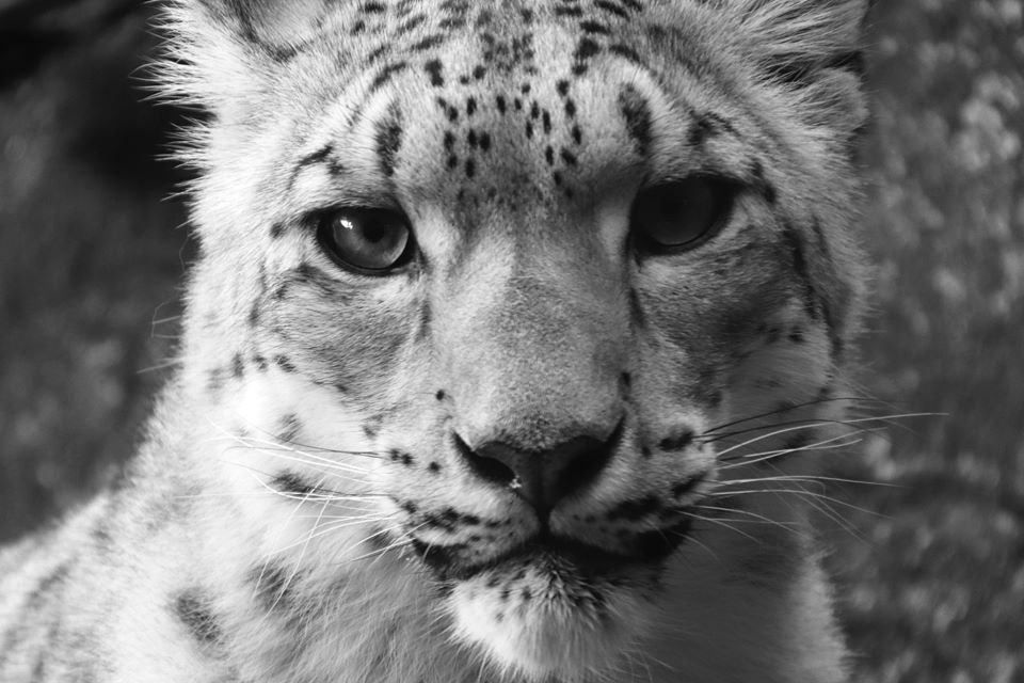 Snow Leopard by randy23