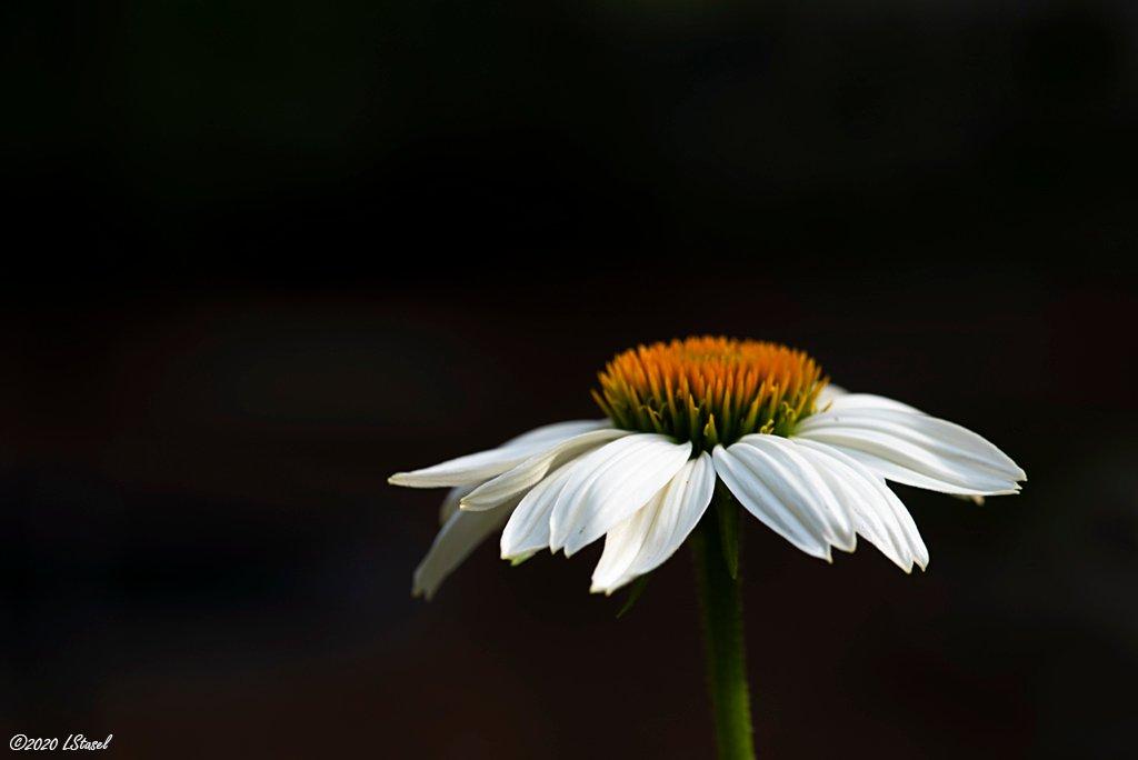 Coneflower by lstasel