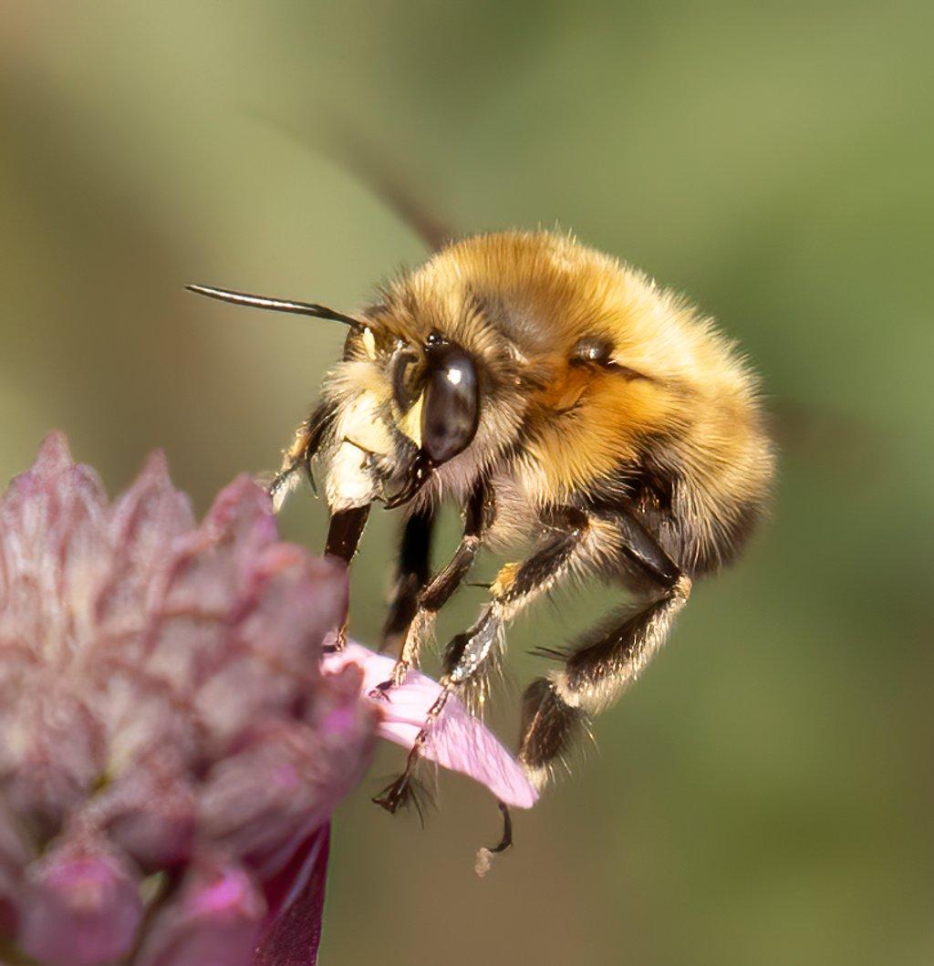 Bee  by shepherdmanswife