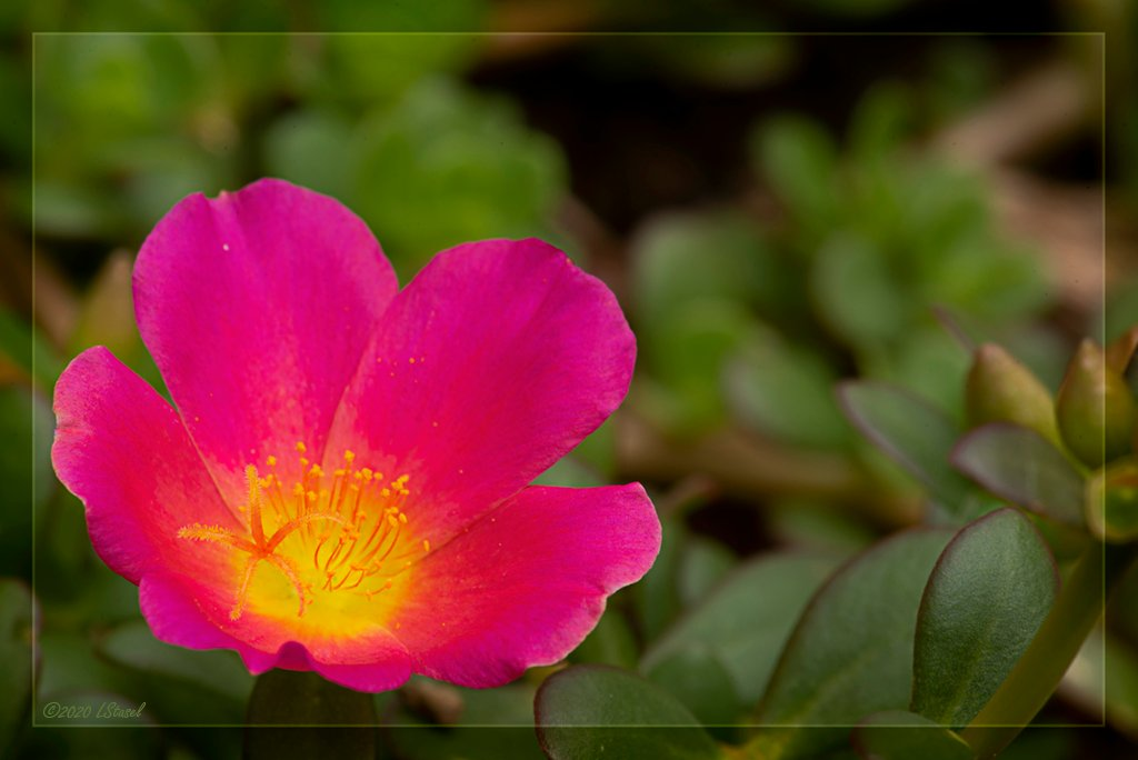 More Moss Roses by lstasel