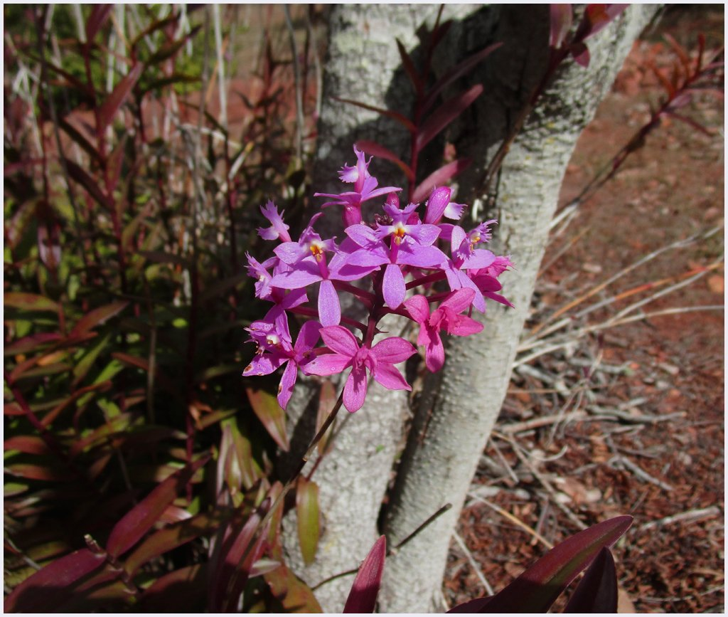 Purple crucifix orchid  by kerenmcsweeney