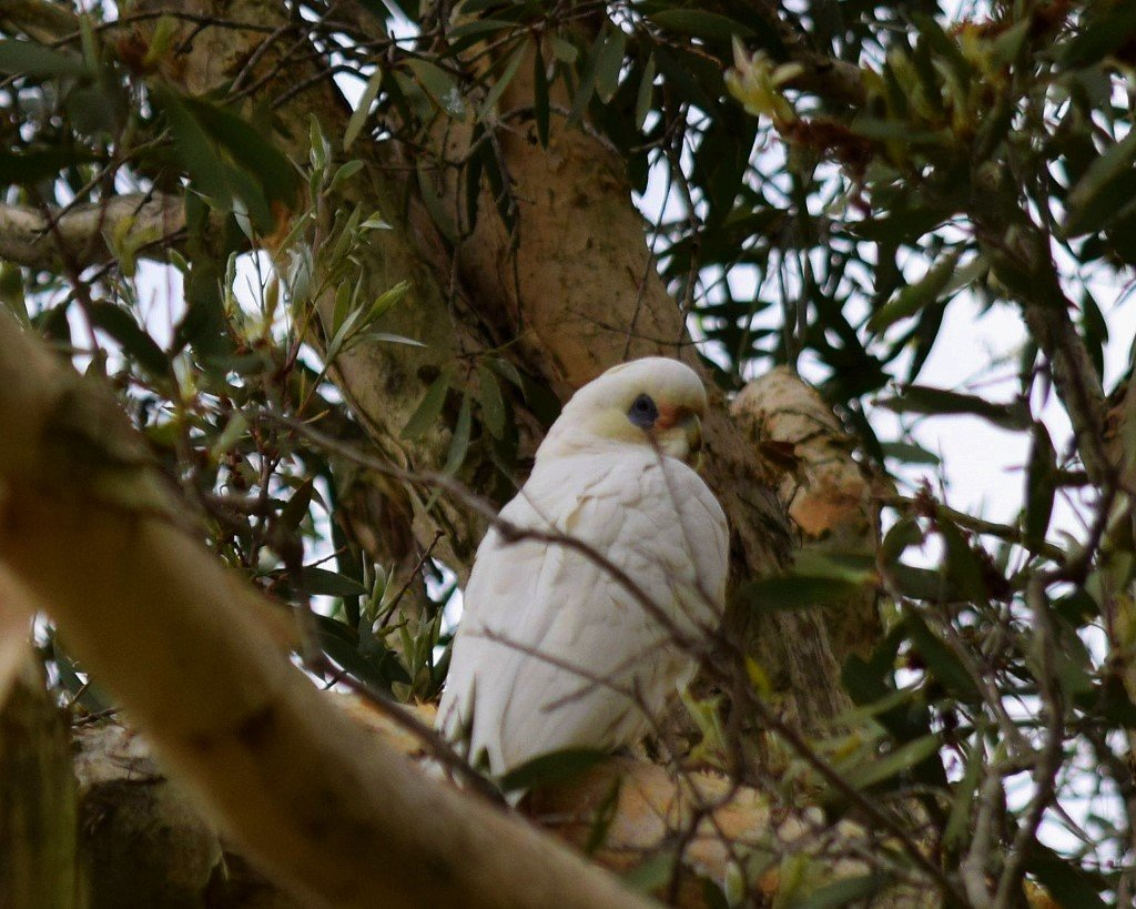 Young Corella Huddled High In A Tree ~    by happysnaps