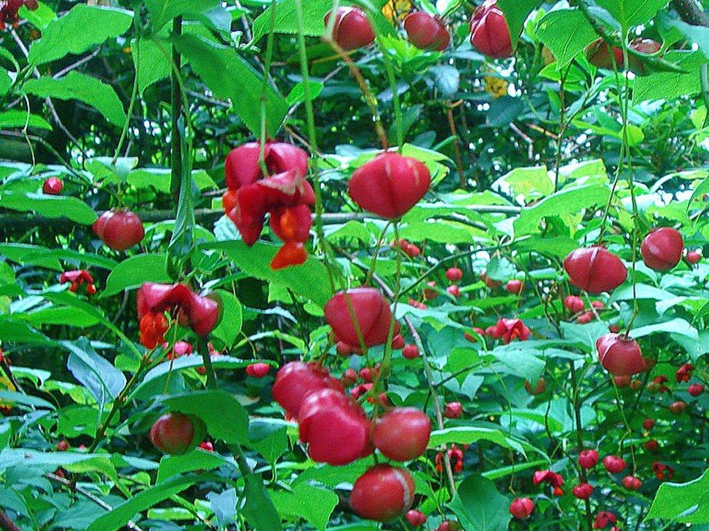 Euonymus berries by gijsje
