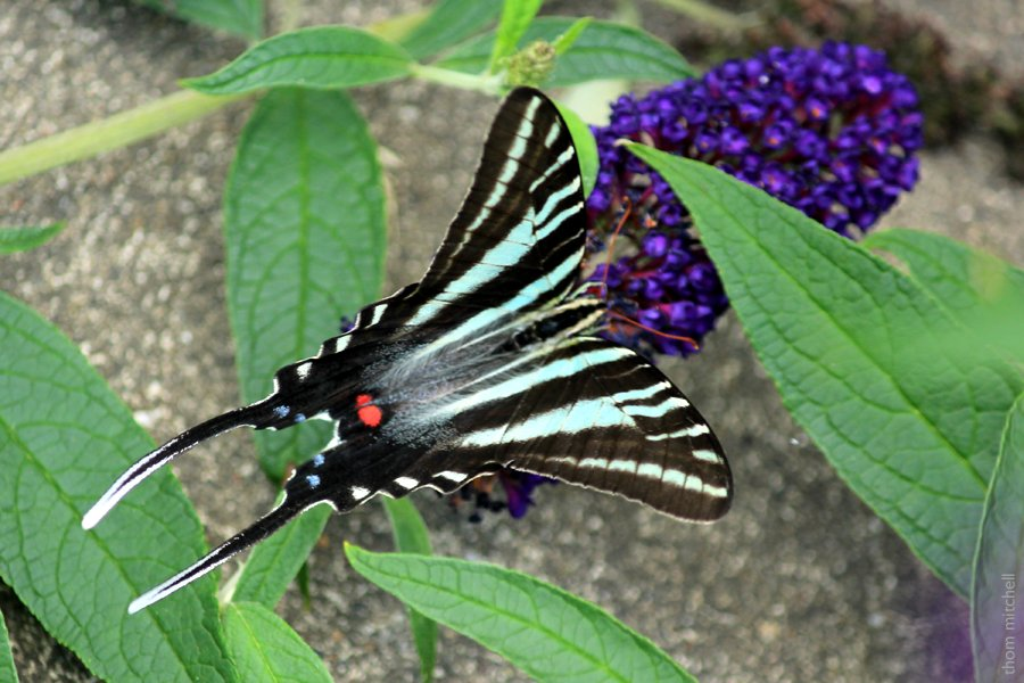 Zebra Swallowtail by rhoing