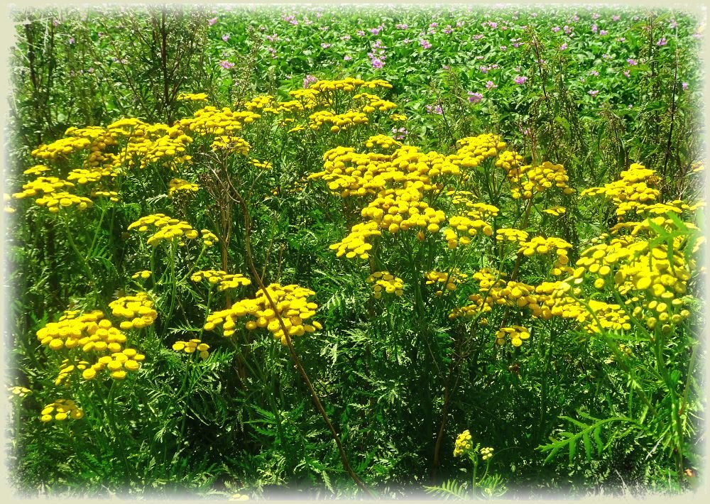 Tansy, also known as common tansy, bitter buttons, cow bitter, or golden buttons by gijsje