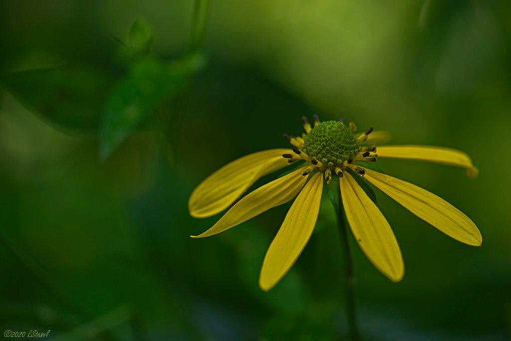 Green-headed Coneflower by lstasel