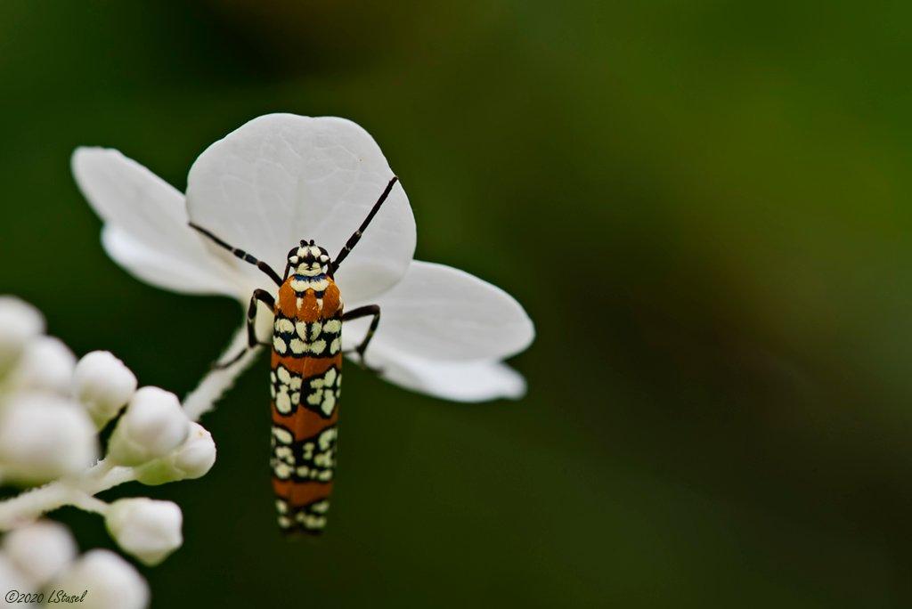 Ailanthus Webworm Moth by lstasel