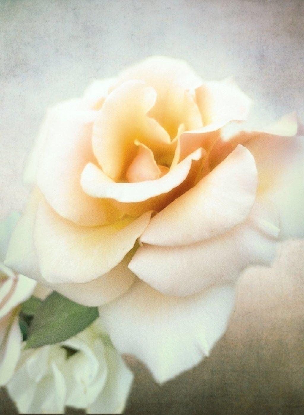 Rose by joysfocus