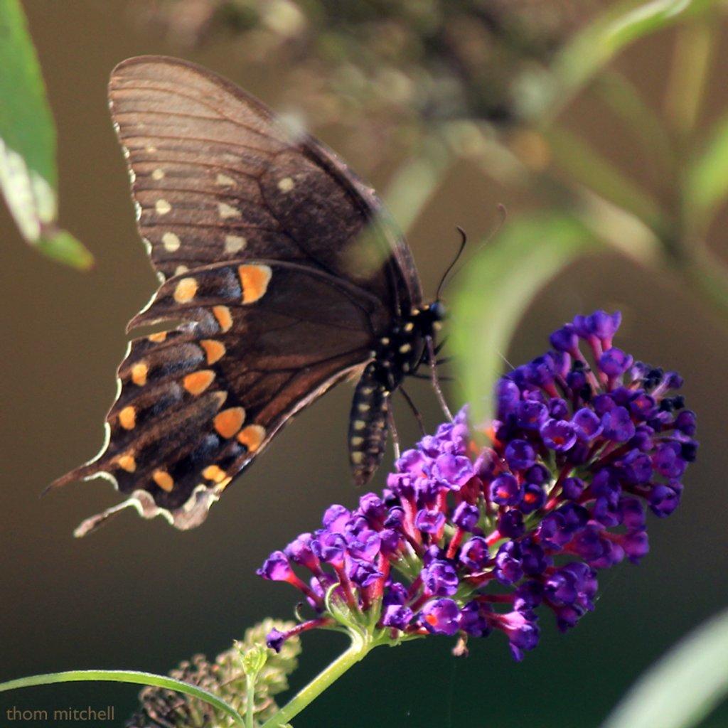 Spicebush Swallowtail by rhoing