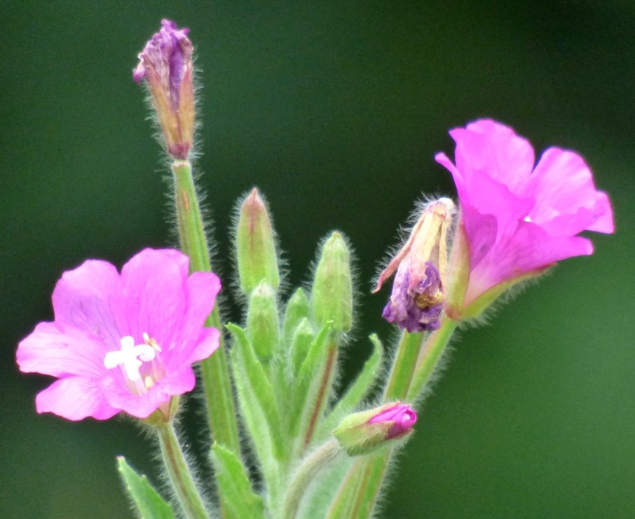 Great Hairy Willowherb by fishers