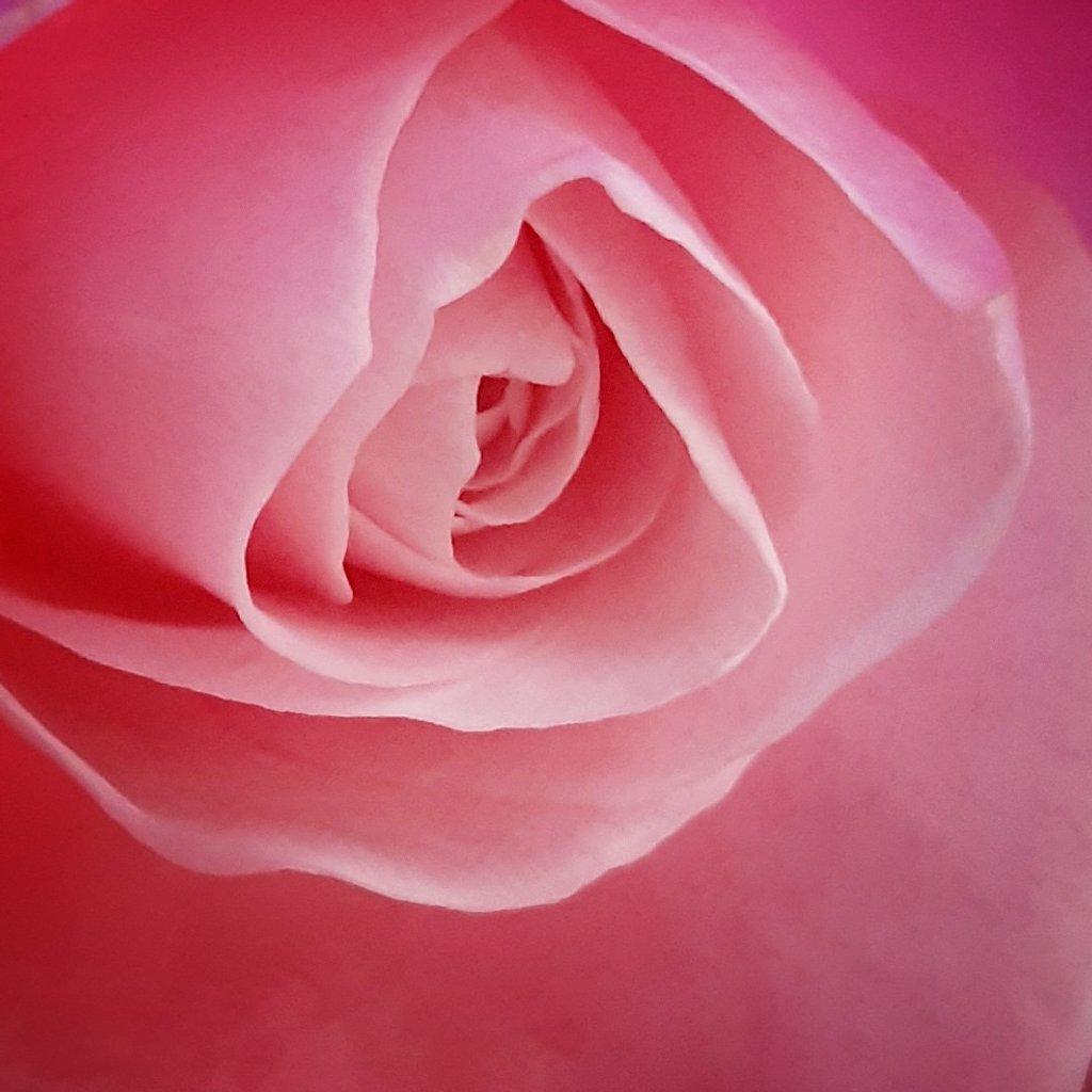Rose  by salza