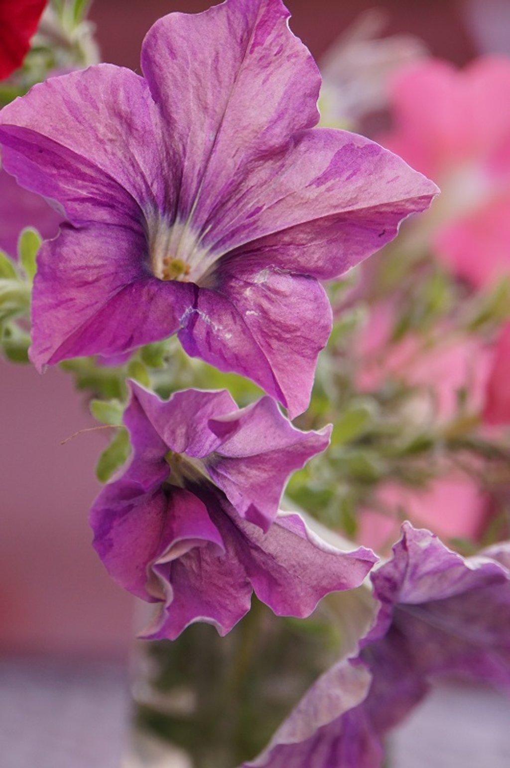 Fresh Cut Petunia by granagringa