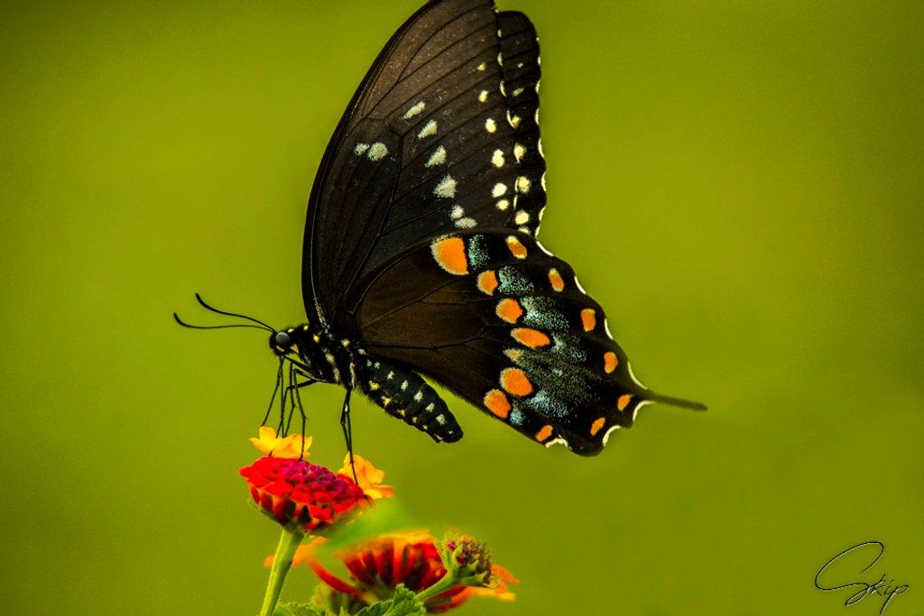 Eastern Black Swallowtail by skipt07