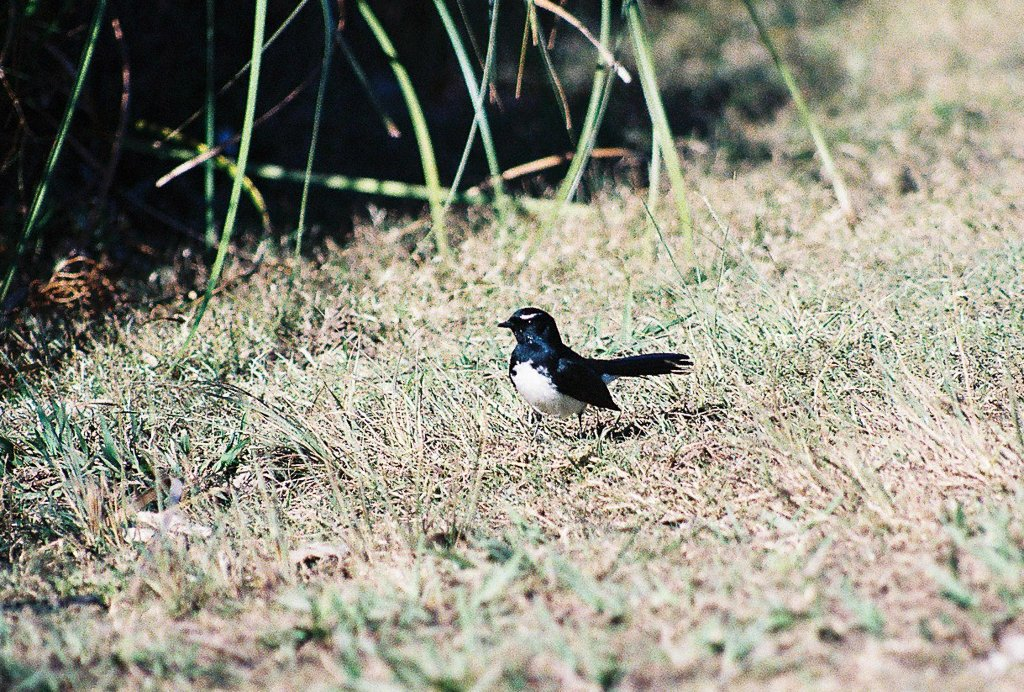 Willy wagtail by peta_m
