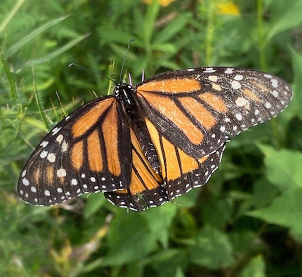 Monarch by calm