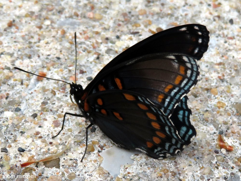 Red-spotted Purple by rhoing