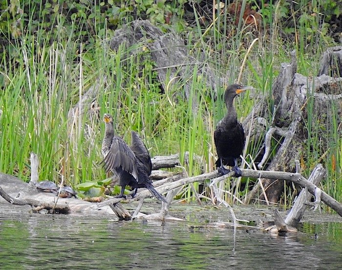 Double-crested Cormorants... by sunnygreenwood