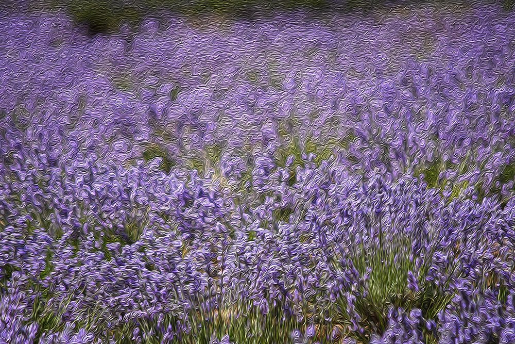 Lavender Field by kgolab