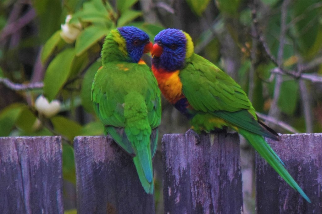 Two Little  ' Love Birds'  Sitting On The Fence ~     by happysnaps