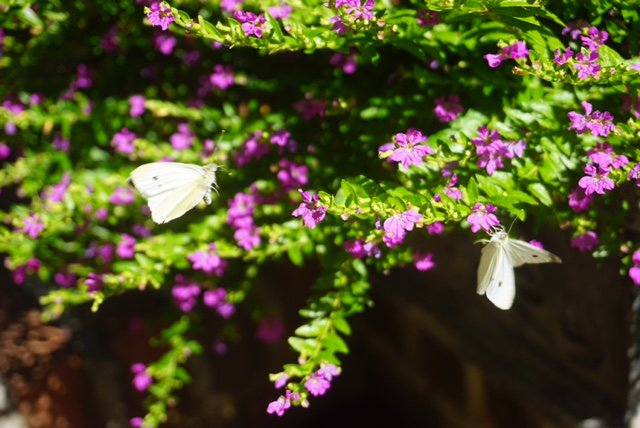 A Real Butterfly Bush by allie912