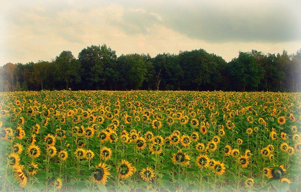 sunflowers 2011-10-06 by gijsje