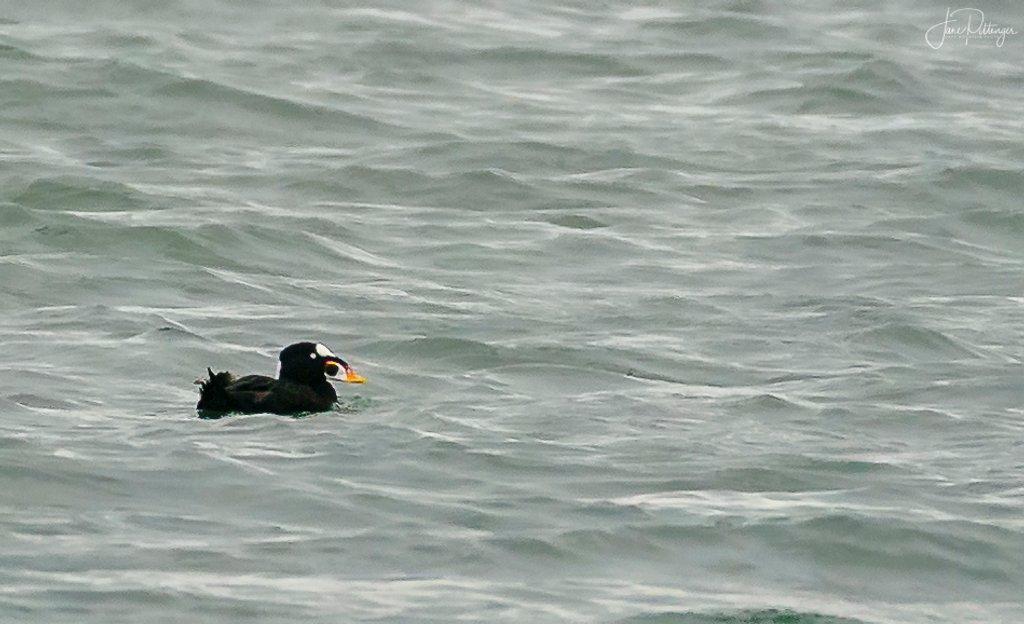 Surf Scoter  by jgpittenger