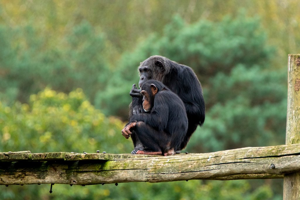 Chimps by leonbuys83