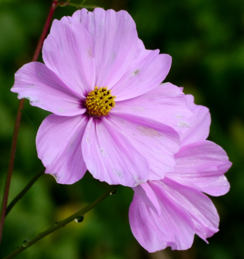 Garden Cosmos by fishers