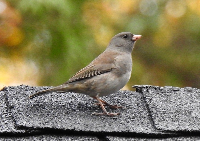 Ms. Dark-eyed Junco by sunnygreenwood