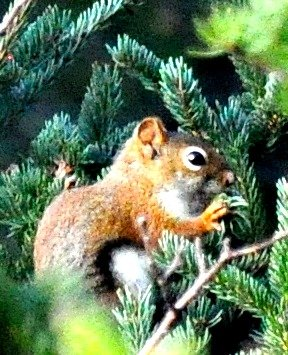 Cute little red squirrel. by sailingmusic