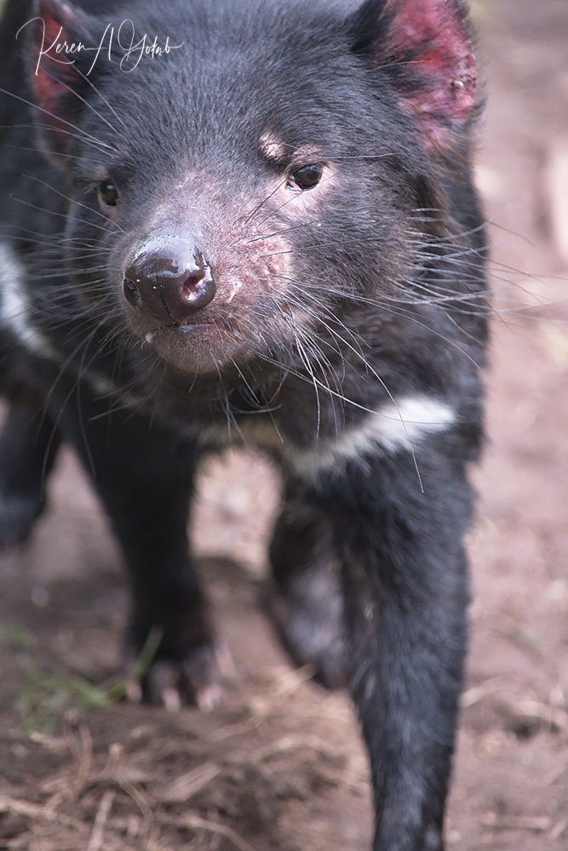 Tasmanian Devil by kgolab