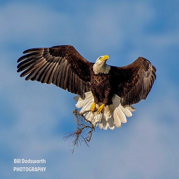 There be eagles! Bald Eagle, one of my favorites to capture!   by photographycrazy