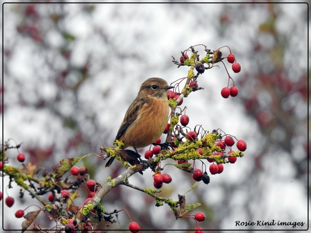 Stonechat in the berries by rosiekind