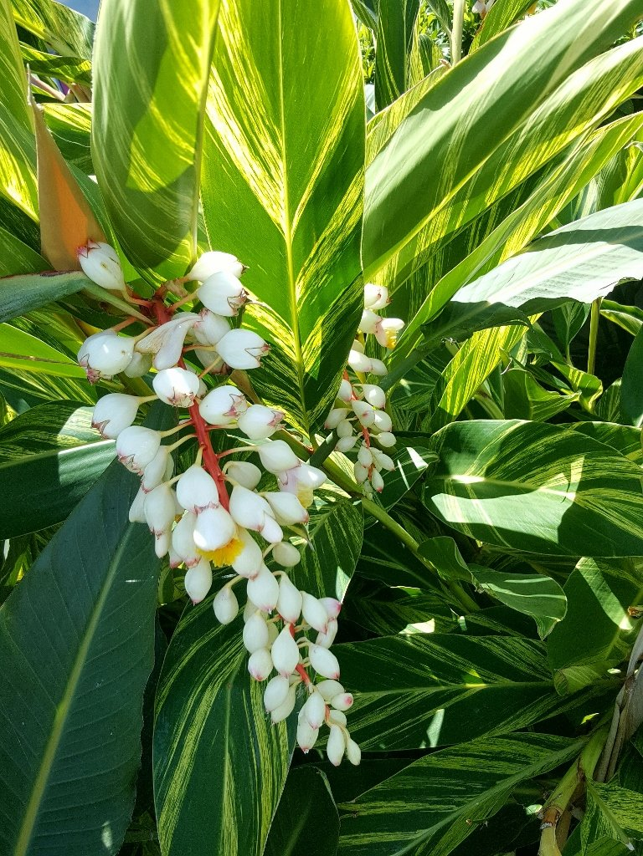 Variegated Shell Ginger......Alpinia zerumbet  variegata ~ by happysnaps