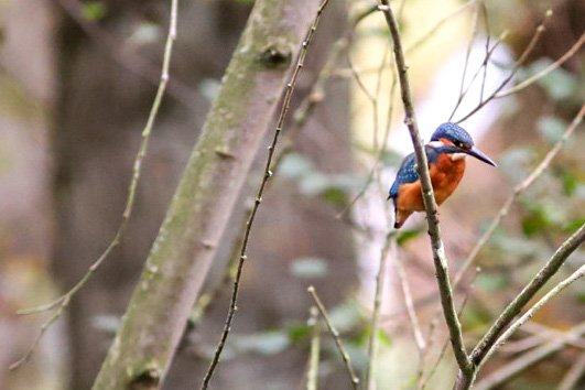 Kingfisher  by phil_sandford