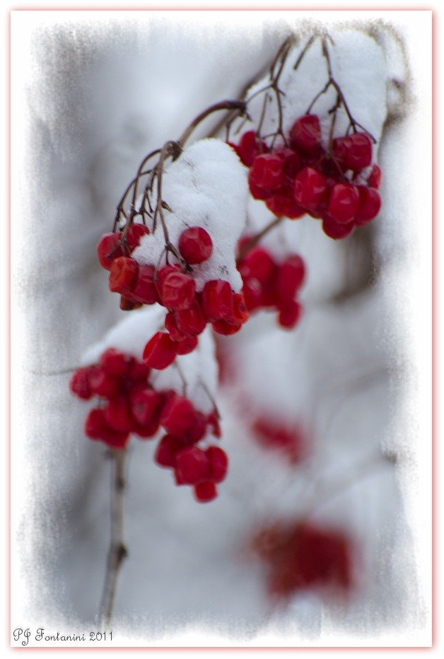 Red White & Berries by bluemoon