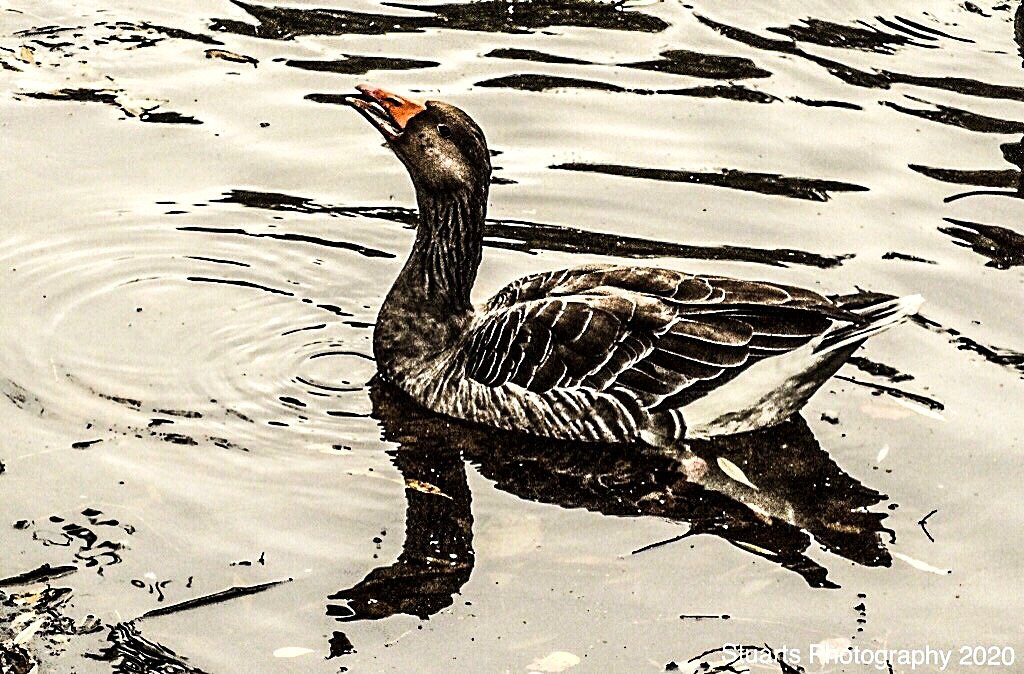 Goose on patrol  by stuart46