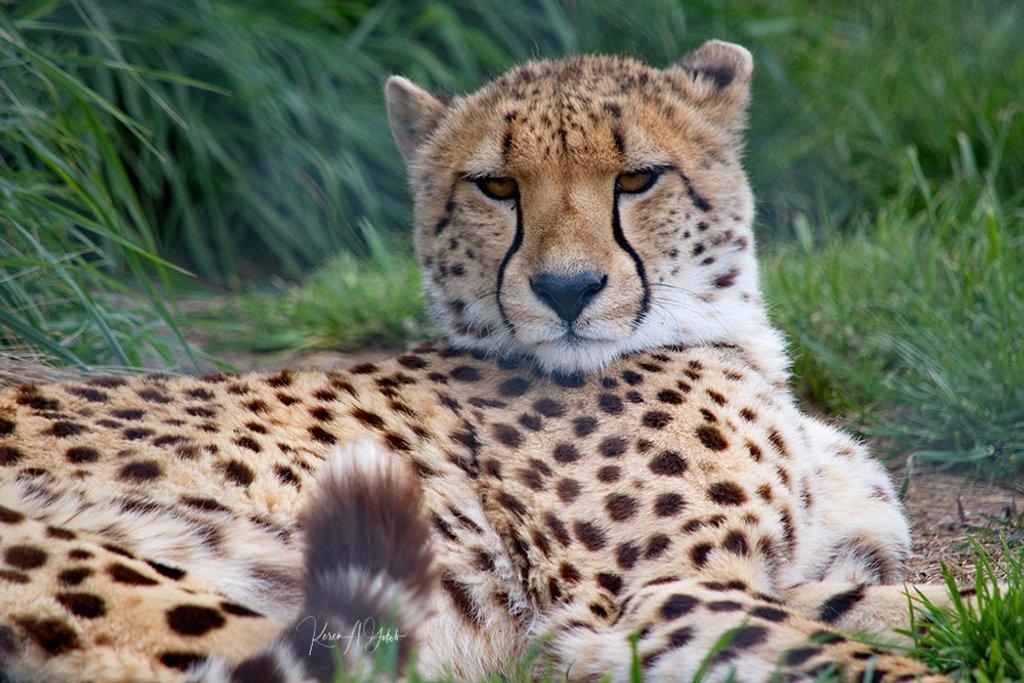 Cheetah by kgolab