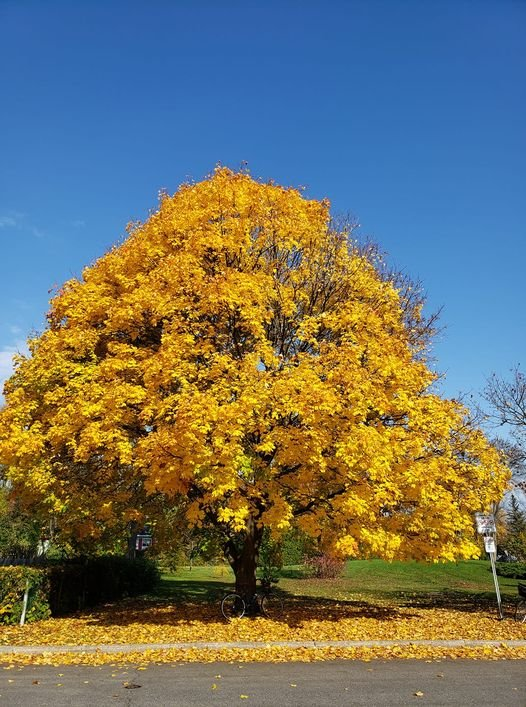 Trees of Golden. by hellie