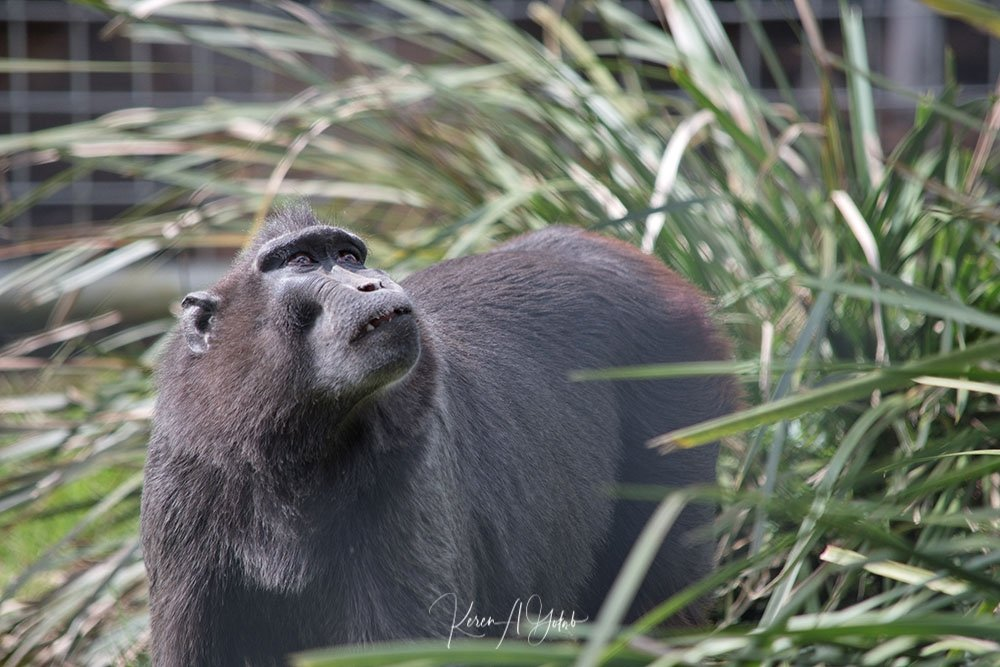 Black Crested Macaque by kgolab