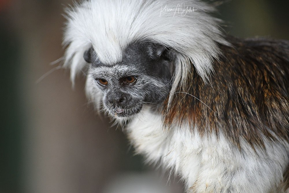 Cotton Top Tamarin by kgolab