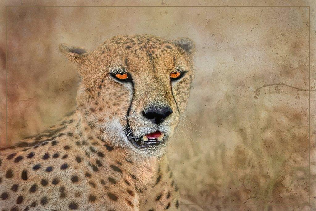 Cheetah  by ludwigsdiana