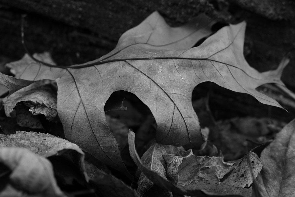 Oak Leaf by lsquared