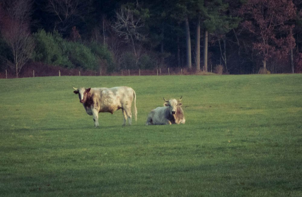 Margo, we have cows too by joansmor