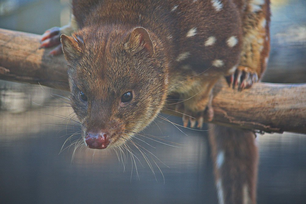 Spotted-tail Quoll by kgolab
