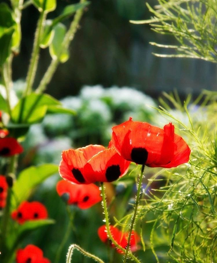 My Grandfather's poppies.  by edie
