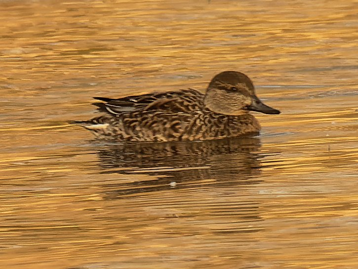 Green-winged teal  by rminer