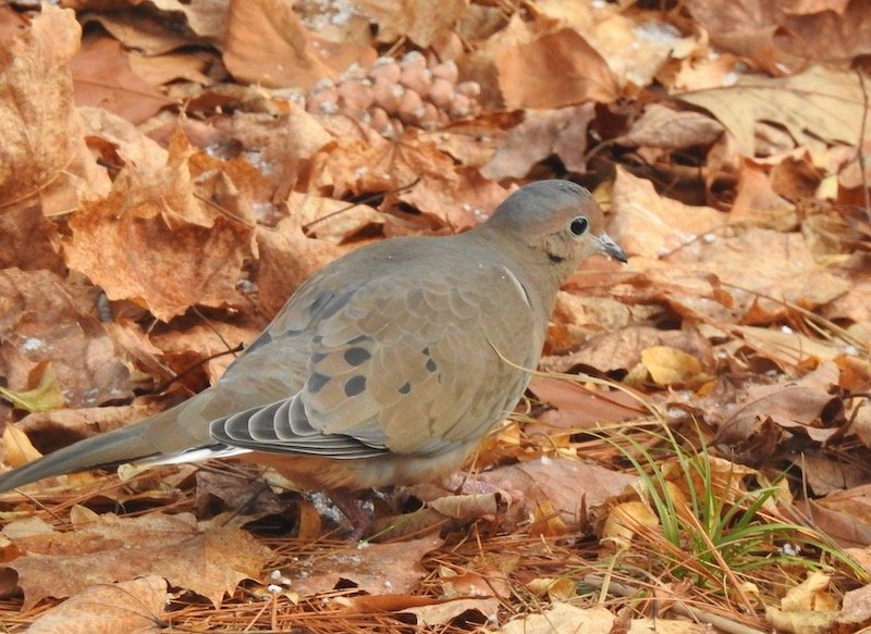 Mourning Dove by sunnygreenwood