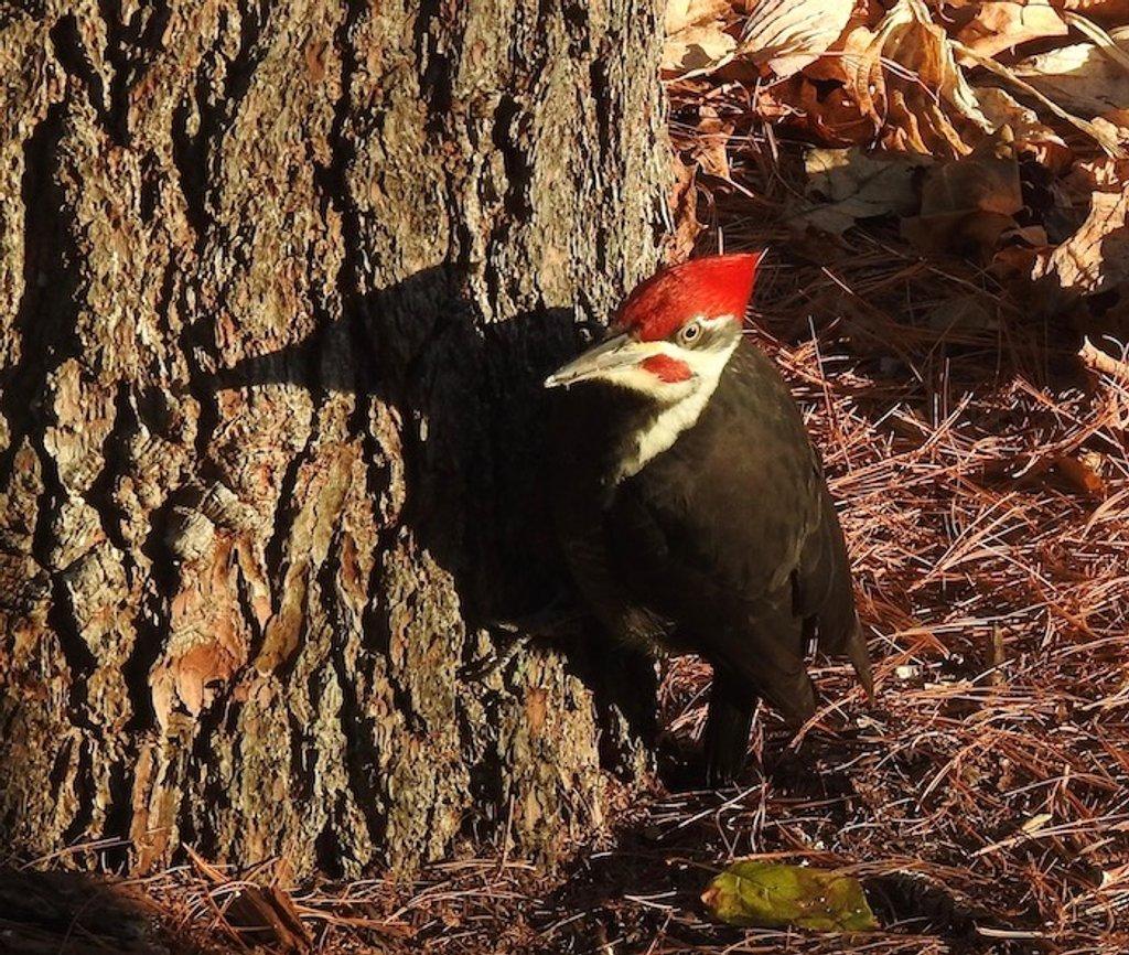 Pileated Woodpecker by sunnygreenwood