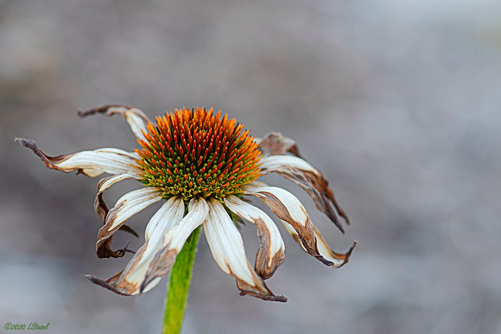 Coneflower by lstasel